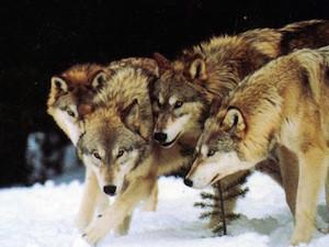 vlci-smecka-2